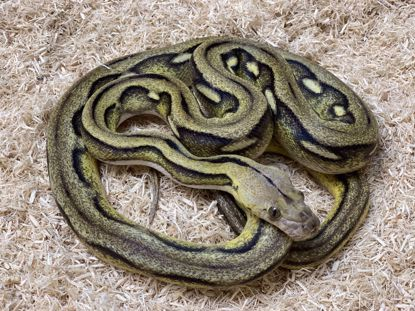 Picture of Male Citron Platinum Sunfire Tiger Reticulated Python